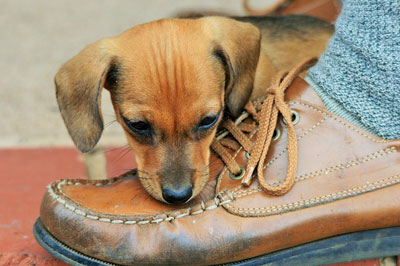 cute small puppy playing with the owners shoe