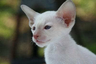 white cornish rex kitten portrait
