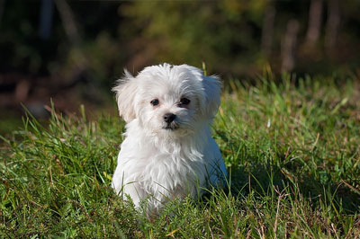 white pekingese dog siting in the grass