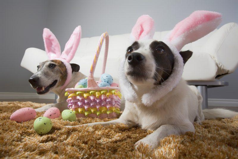 funny dogs wearing rabbit ears