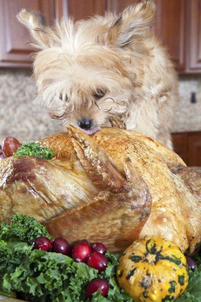 dog eating Turkey