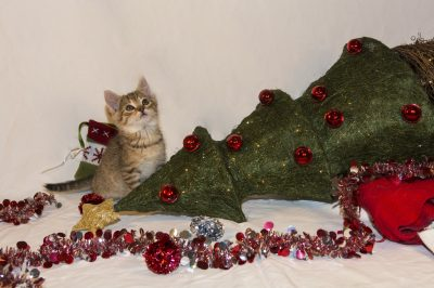 funny kitten planing for the Christmas