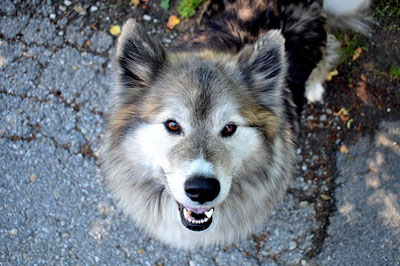 happy husky looking up to the camera