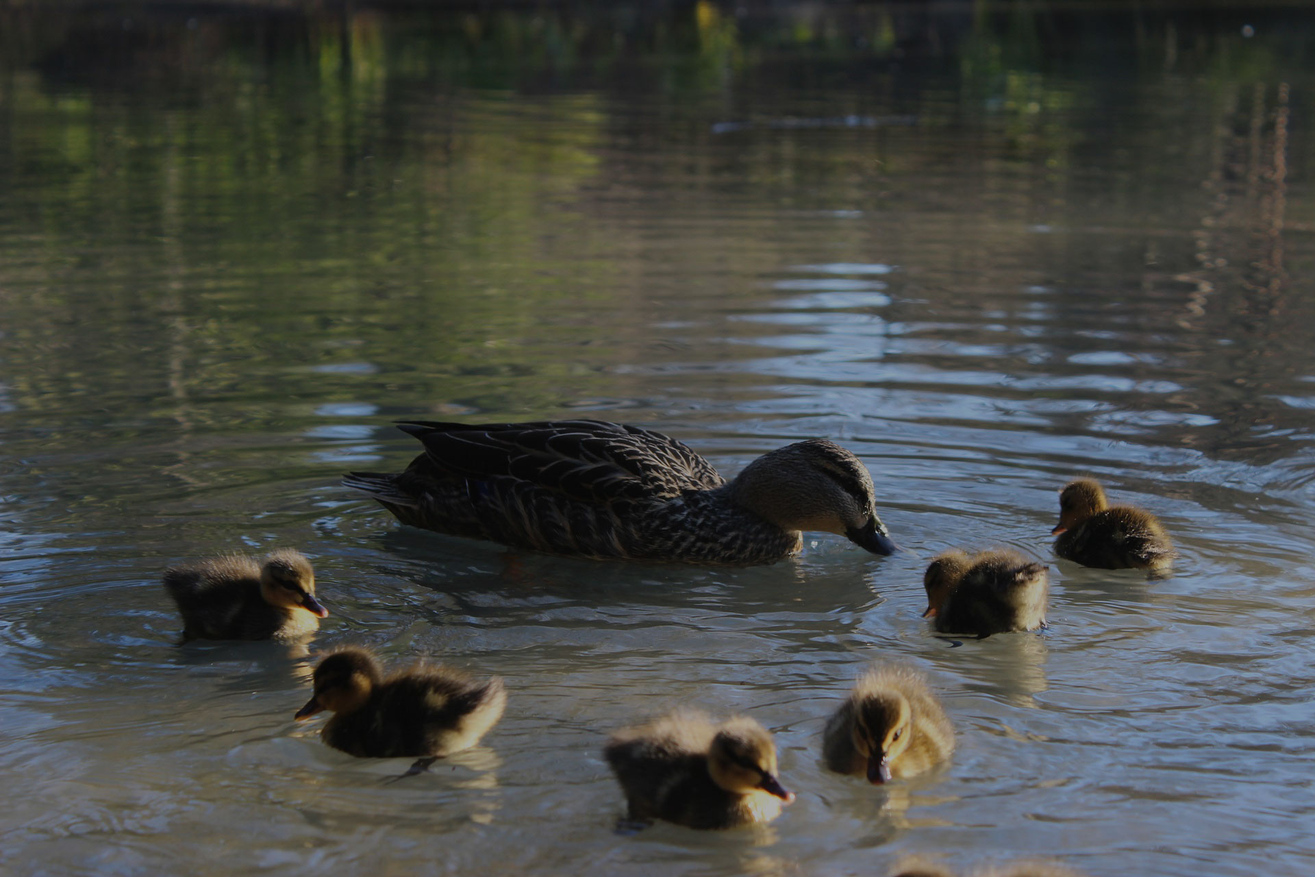 Duck and ducklings are in the pond