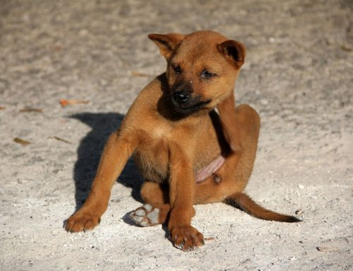 The Fight Against Fleas: Treatment and Prevention