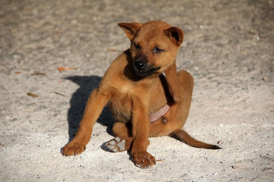 cute brown dog scratching