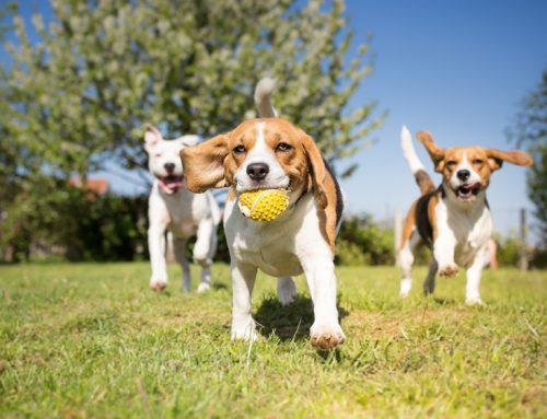 Canine Influenza Virus (CIV) Vaccine