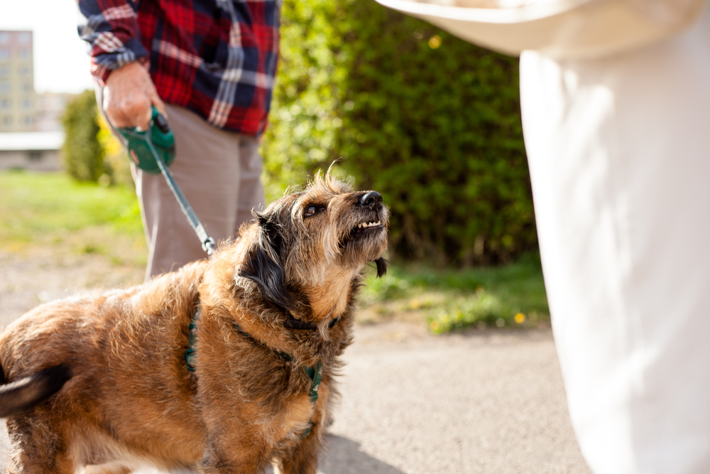 Aggressive crossbreed small dog being walked