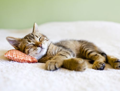Your Feline's First Year: Welcoming Home a New Kitten